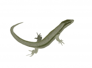 Lézard de Bonnal