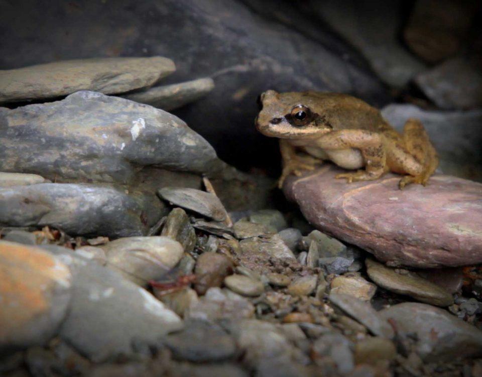 La grenouille des pyrénées